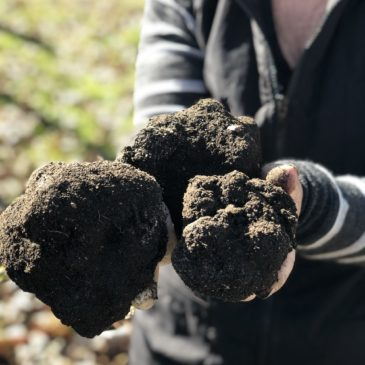 Truffle Hunt in Te Puke